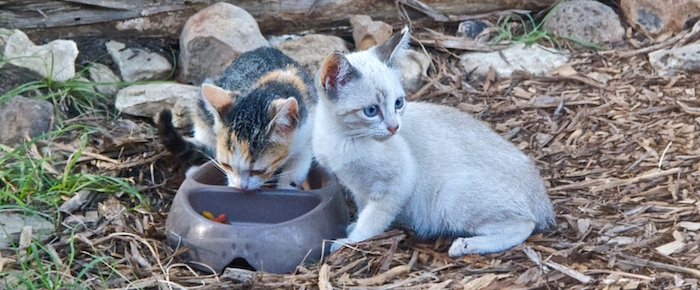 Feral Cat Fridays: Callie Of The Calico Ears